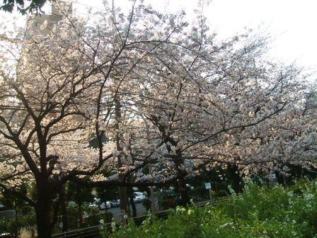 旭区若葉台の桜〜2