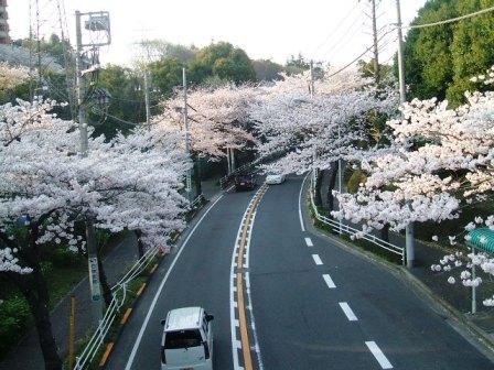 旭区若葉台の桜〜4