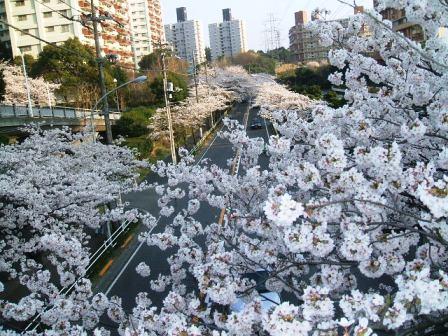 旭区若葉台の桜〜5