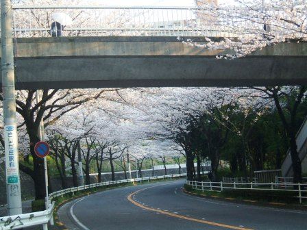 旭区若葉台の桜〜7