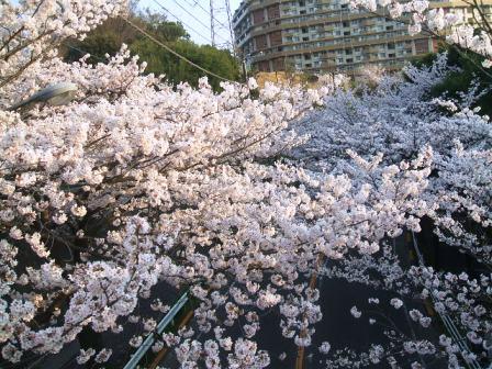 旭区若葉台の桜〜8