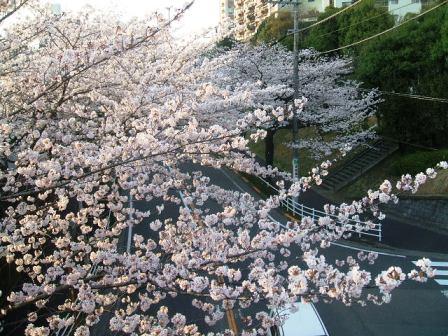 旭区若葉台の桜〜9