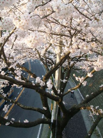 旭区若葉台の桜〜10