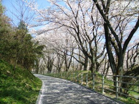 こどもの国の桜・花見7