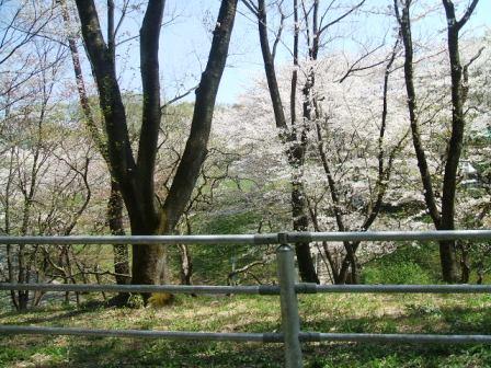 こどもの国の桜・花見9