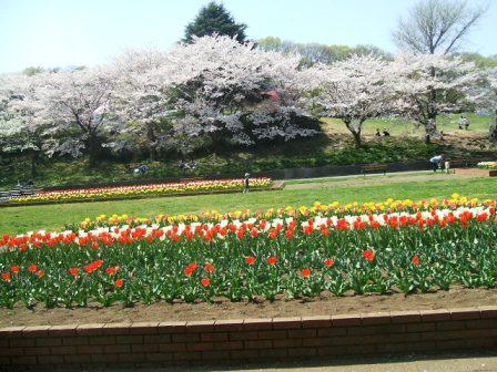 こどもの国の桜・花見13