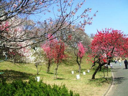 こどもの国の桜・花見14