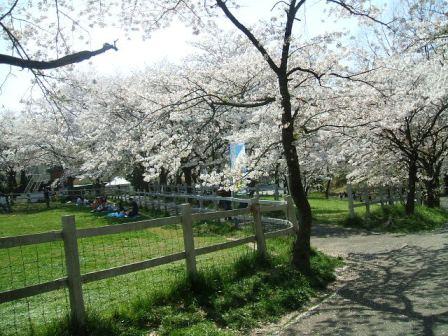 こどもの国の桜・花見18