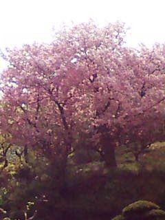 横浜の八重桜1