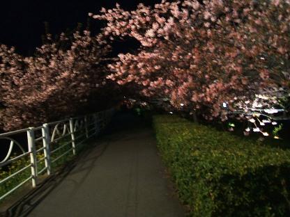 河津夜桜5