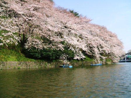 千鳥ヶ淵桜花見7