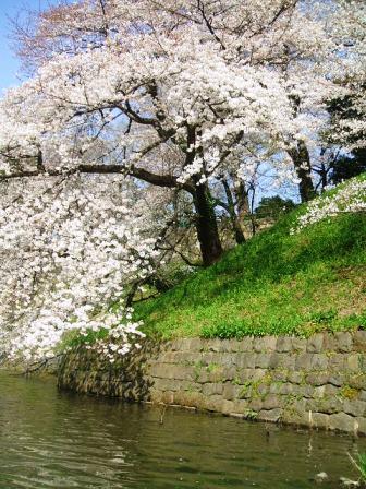千鳥ヶ淵桜花見11