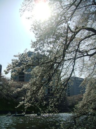 千鳥ヶ淵桜花見13