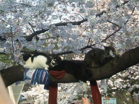 上野公園桜花見7