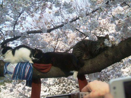 上野公園桜花見8