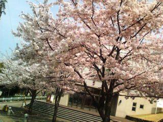 都筑区牛ヶ谷公園桜〜1