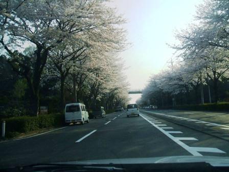 環状4号の桜〜3