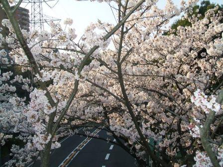 旭区若葉台の桜〜3