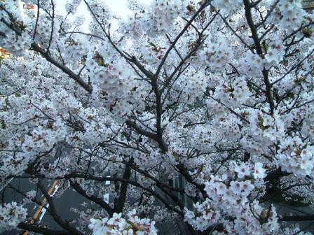 旭区若葉台の桜〜6
