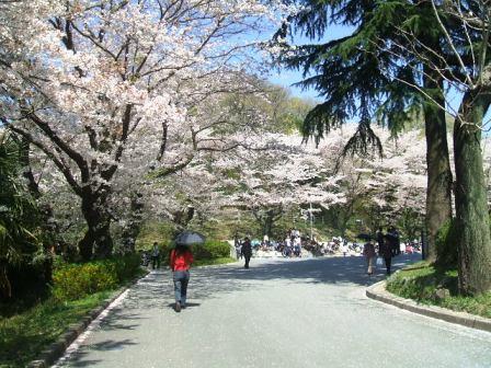 こどもの国の桜・花見5