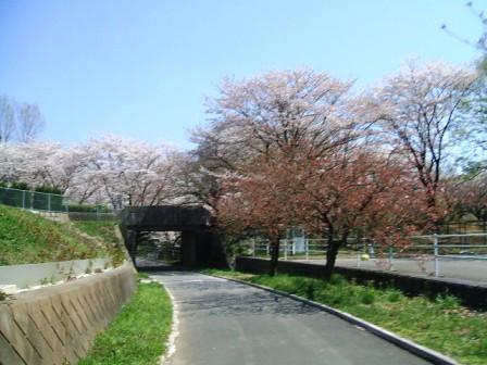こどもの国の桜・花見6