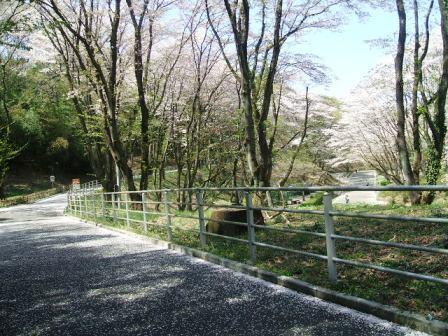 こどもの国の桜・花見10
