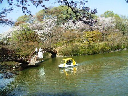 こどもの国の桜・花見15