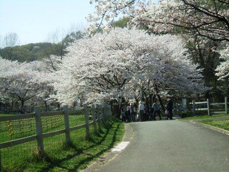 こどもの国の桜・花見19