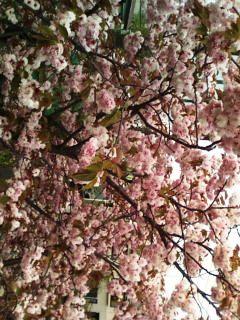 横浜の八重桜2