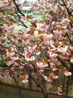 横浜の八重桜3
