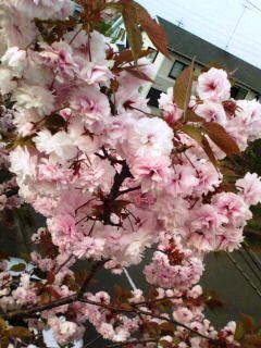 横浜の八重桜4