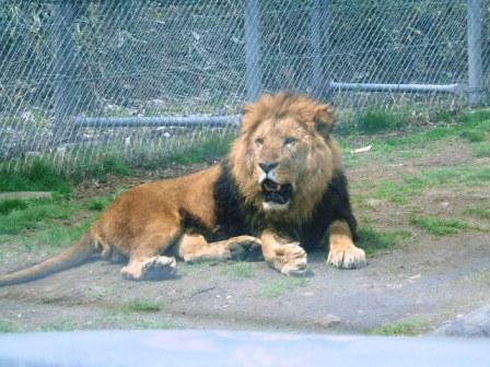ライオン7