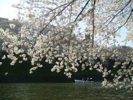 千鳥ヶ淵桜花見14