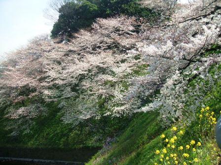 千鳥ヶ淵桜花見15