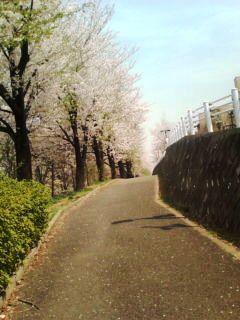 都筑区牛ヶ谷公園桜〜3