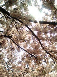 都筑区牛ヶ谷公園桜〜4