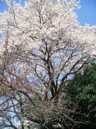 こどもの国の桜・花見4