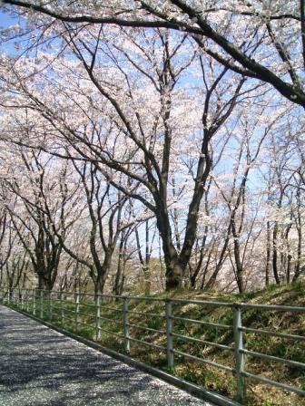 こどもの国の桜・花見8
