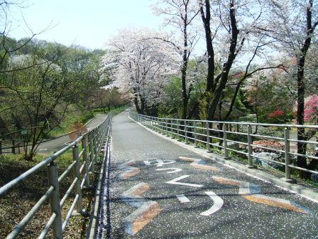 こどもの国の桜・花見11