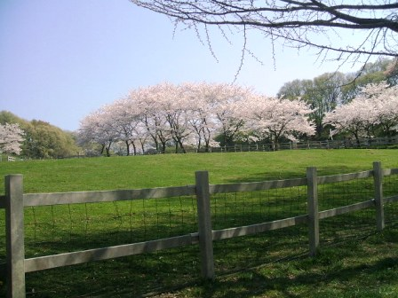 こどもの国の桜・花見16
