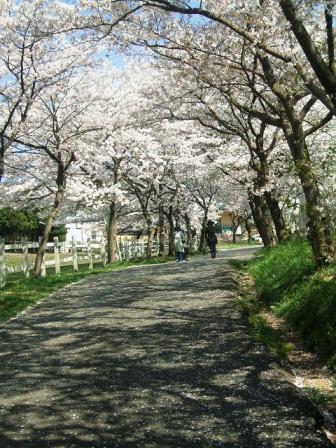 こどもの国の桜・花見17