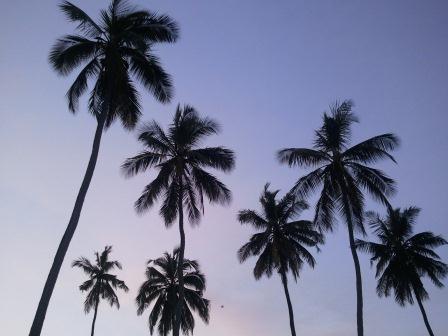 mombasa tree