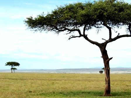 masaimara tree