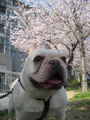 桜は満開♪