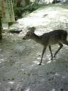鹿さんです