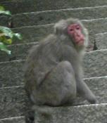 大日堂への階段を上る猿