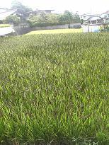 古代米の田んぼ