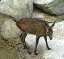 白糸川の鹿さん