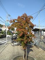 三滝駅前の紅葉