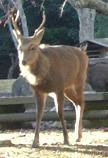 角がある鹿:もののけ姫みたい